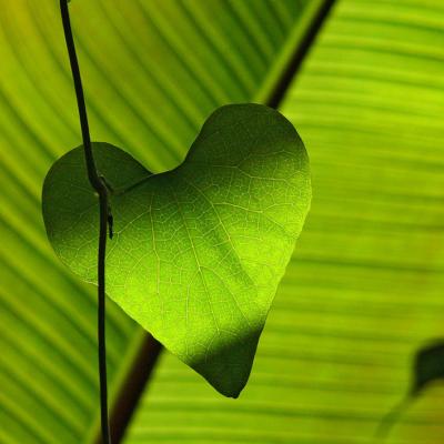 ハートの形をした葉