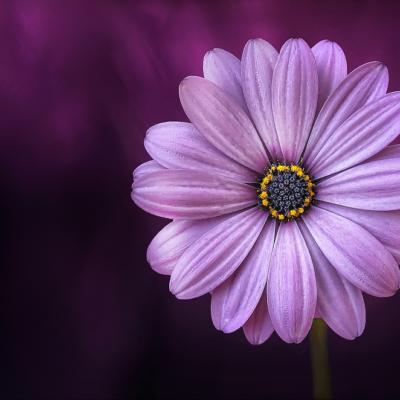 コスモス、紫色の花