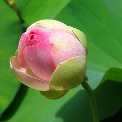 蓮の花、つぼみ
