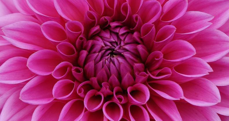 ピンク、花