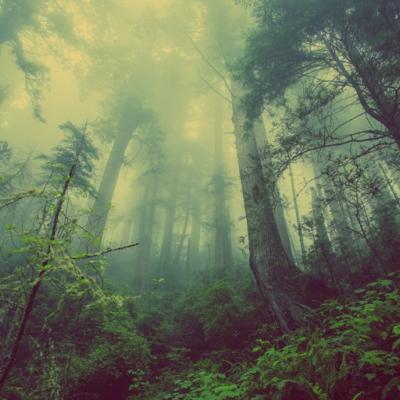 森、霧、木